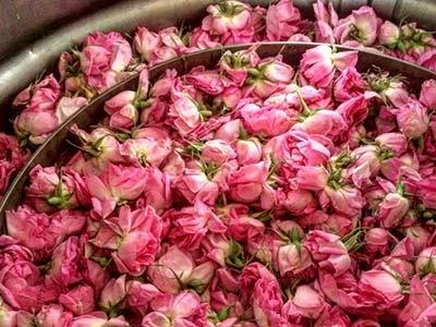 تور گلاب گیری نیاسر و کاشان.amordadtour.com